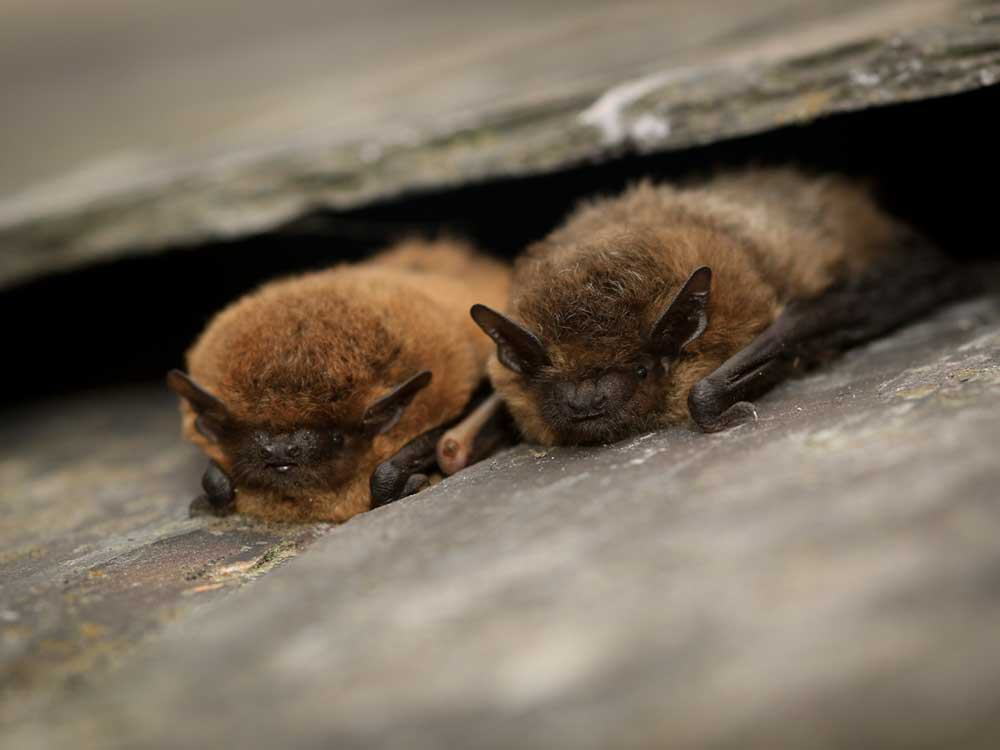 Bat Surveys and Mitigation by Wildscapes