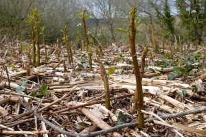 Japanese knotweed growth