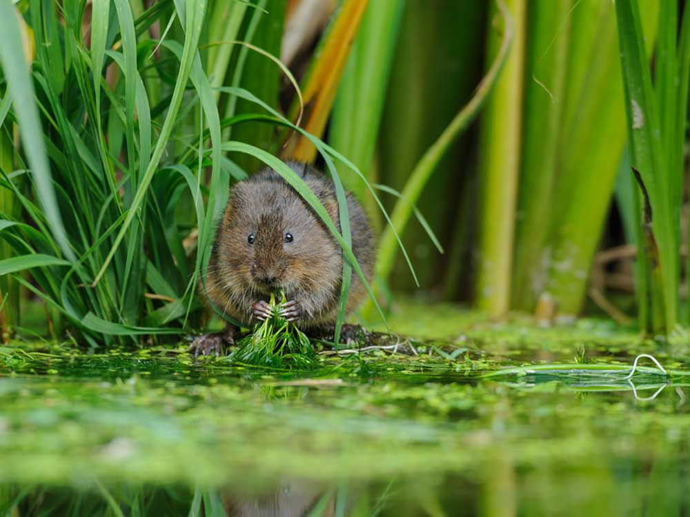 Survey for protected species including water vole
