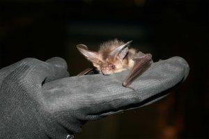 An introduction to conducting bat surveys