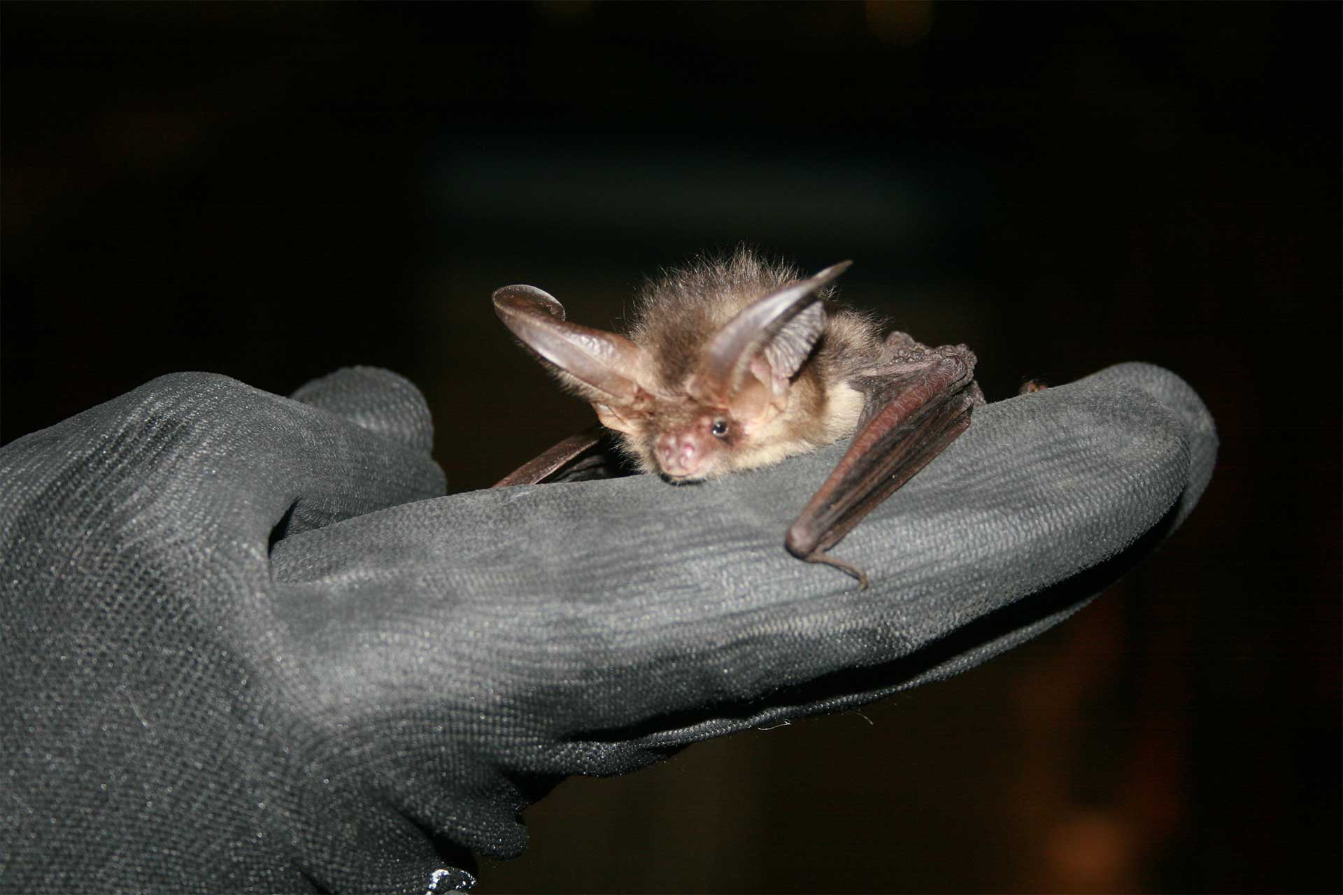 An introduction to conducting bat surveys