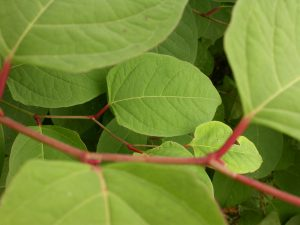 Japanese knotweed leaves - close up