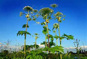 Giant hogweed - the UK's most dangerous plant