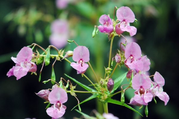 Himalayan balsam in bloom